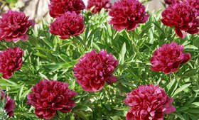 Pre-Order: Double Black Peony Bare Roots (3-, 6-,