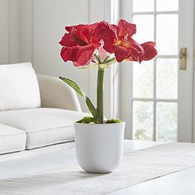 Red Amaryllis in White Pot