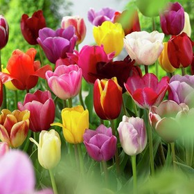 Tulips Non-Stop Mixed Colors Blend - Set of 25 Bul